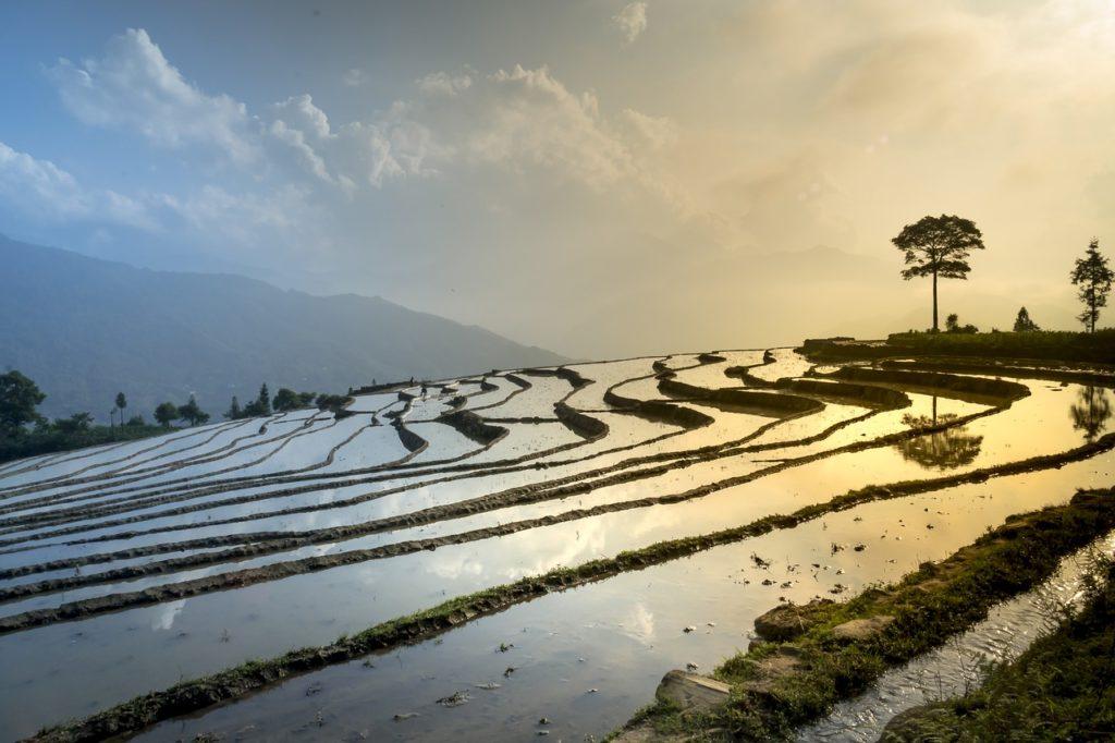 campos de arroz biomasa