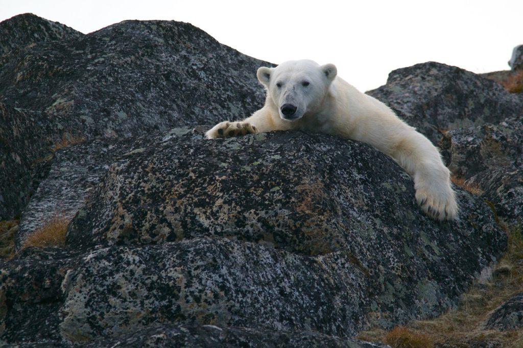 calentamiento global osos