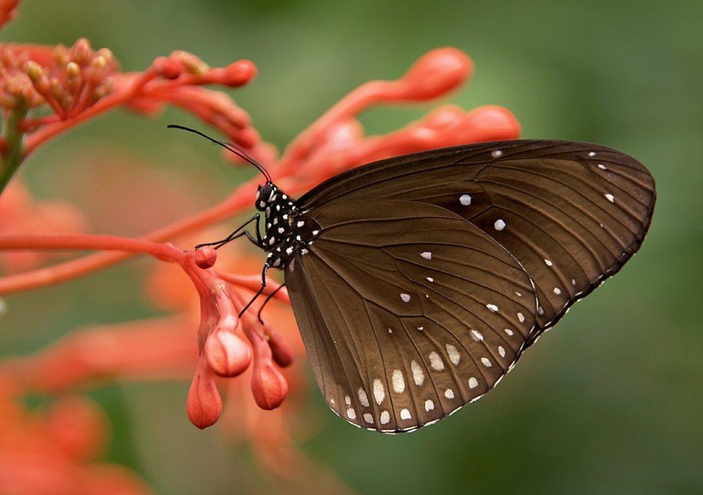 Mariposa cambio climático