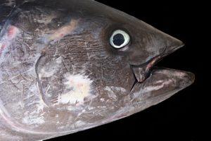 atún rojo extinción