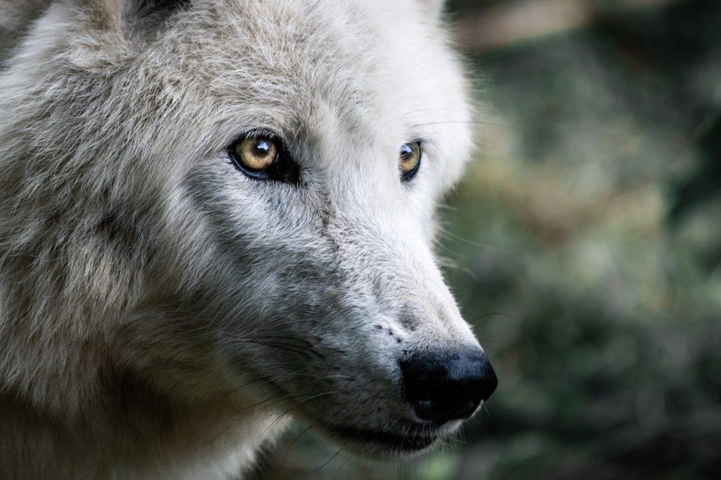 erosión y extinción de lobos