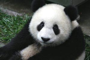 oso panda extinción