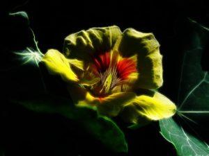 planta capuchina