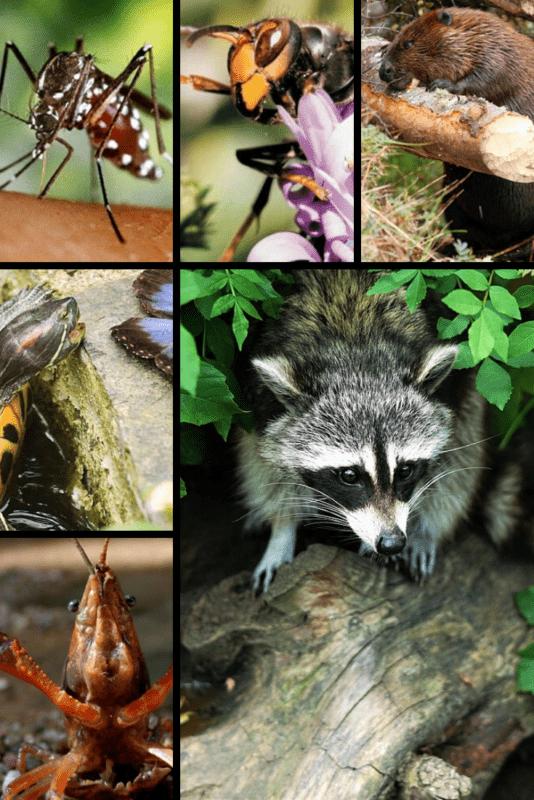 ejemplos de especies invasoras