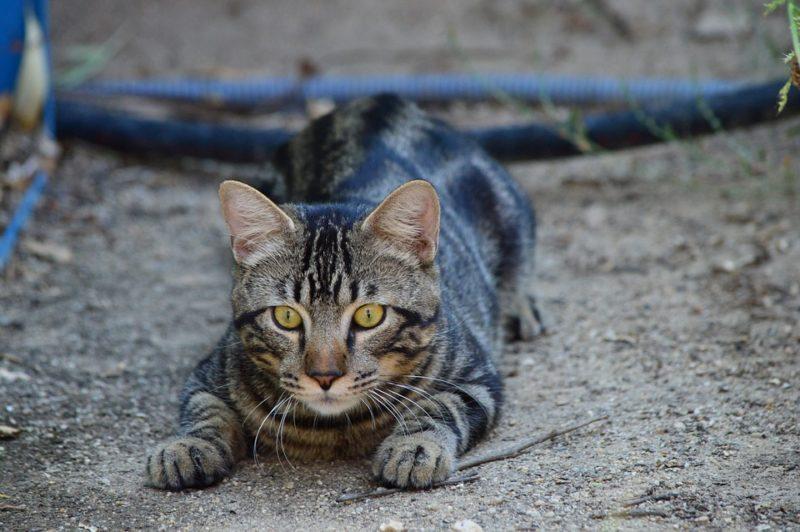 gato especie invasora