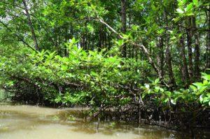 fauna y flora de los manglares