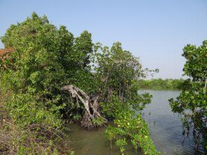 principales características de los manglares