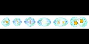 Mitosis Unidad Estructural y Funcional de los Seres Vivos