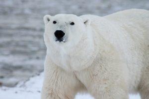 campañas a favor del medio ambiente oso polar