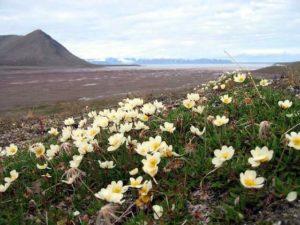 Dyras octopetala - Flora en la tundra