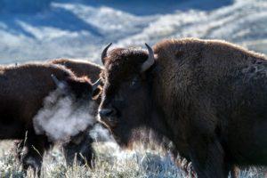 ¿Qué fauna predomina en una pradera? Búfalo