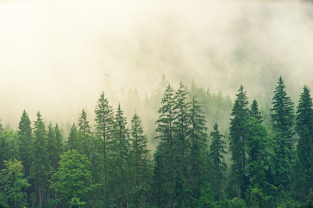 ¿Qué es un bosque subtropical de coníferas?