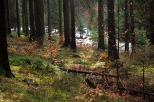 ¿Qué características tiene un bosque templado de coníferas?