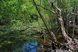 ¿Dónde se encuentran los manglares?