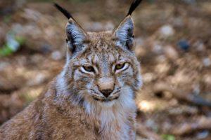 ¿Qué fauna predomina en el bosque mediterráneo?