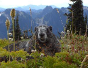 ¿Qué fauna predomina en una pradera de montaña?