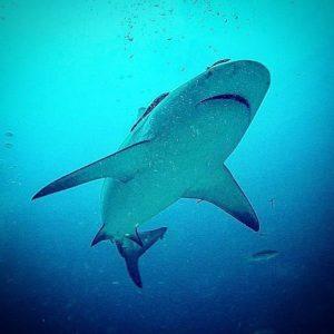 A qué reino animal pertenecen los tiburones