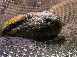 Fauna de clima tropical - Anaconda