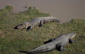 Animales acuáticos en peligro de extinción - Cocodrilos