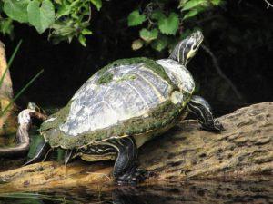 Animales acuáticos en peligro de extinción - Tortuga de río