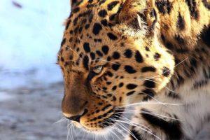 Animales de la sabana - Leopardo (Phantera pardus)