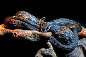 Animales de la sabana - Mamba negra