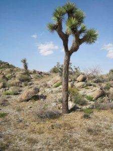 Árbol de Josué (Yucca brevifolia)
