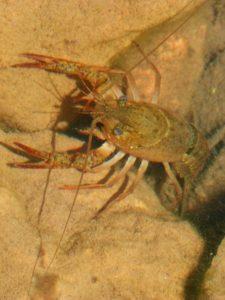 Cangrejo de río ibérico