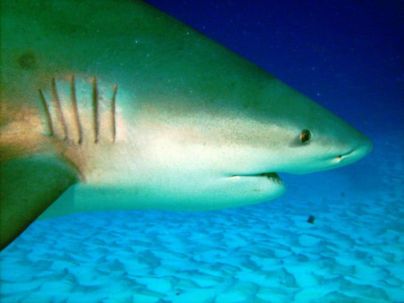 Cuánto pueden comer los tiburones