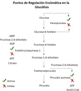 Cuáles son las etapas o fases de la glucólisis - 1era fase, gasto de energía