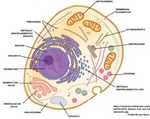 Cuáles son las partes de una célula - Núcleo