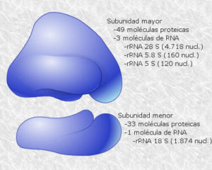 Cuáles son los ribosomas y cuál función cumplen en la célula