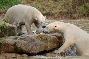 Cuántos osos polares sobreviven en el mundo