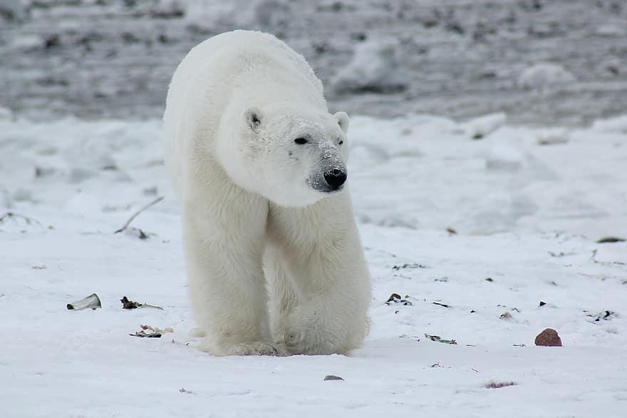 De qué forma podemos evitar la extinción del oso polar