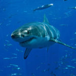 Tiburón Blanco: [Hábitat, Alimentación, Reproducción y Enemigos Naturales]