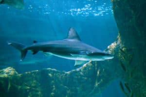 Dónde viven los tiburones toro