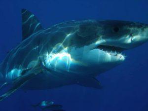 El gran tiburón blanco (Carcharodon carcharias)