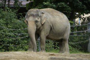 Elefante de la India (Elephas maximus indicus)