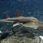 Tiburón Raya: [Hábitat, Alimentación, Reproducción y Enemigos Naturales]