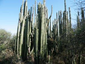 Flora de clima desértico - Cactus órgano (Pachycereus marginatus)