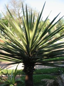 Flora de clima desértico - Yuca de dátiles (Yucca baccata)