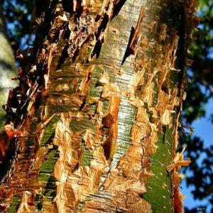 Flora de clima tropical - La chacá