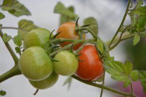 Flora de clima tropical - Tomate silvestre