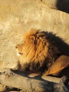 León (Phantera leo)