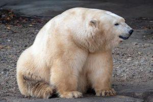 Por qué el oso polar se encuentra en peligro de extinción