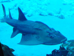 Qué enemigos naturales tiene el tiburón raya