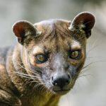Fosa animal: [Alimentación, Reproducción, Hábitat y Tamaño]