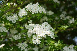 Flora de clima de alta montaña - Retama blanca