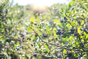 Flora de la Taiga - Arándanos