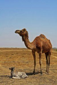 Animales del desierto - Camello
